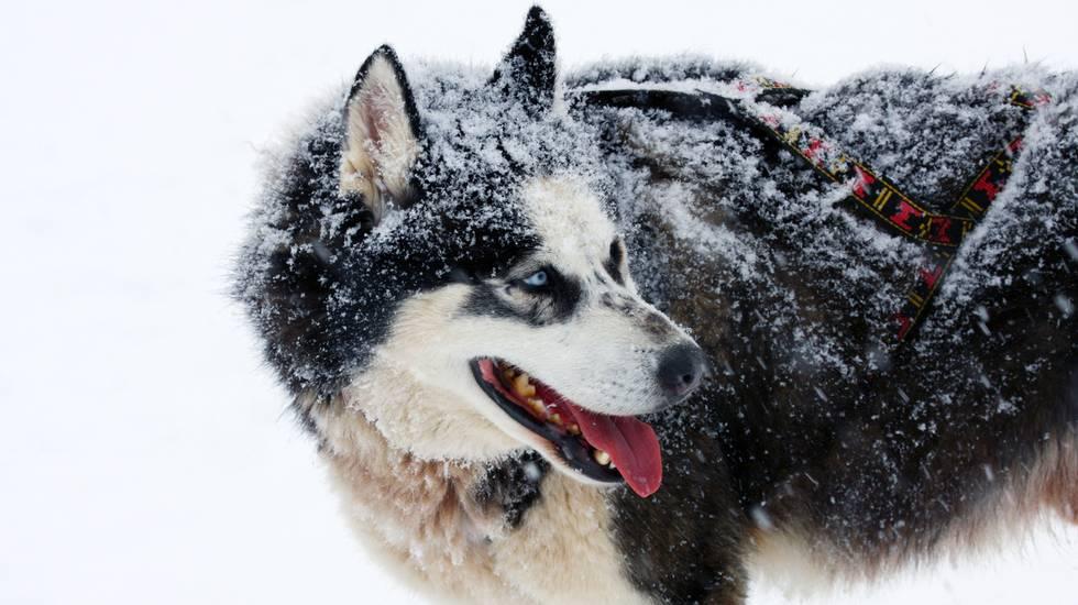 Husky Siberiano, cane da slitta