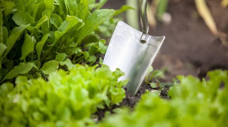 Orto, Giardinaggio, Vanga, Lattuga, Cibo biologico, Vegetazione, Fattoria, Cibo, insalata, terra