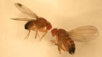 moscerino suzukii drosophila