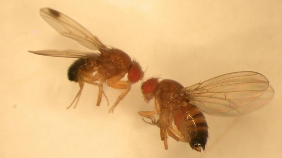 moscerino suzukii drosophila