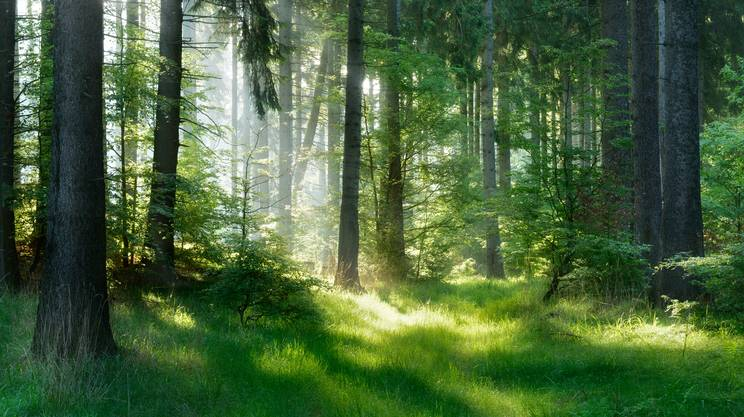 Albero di Abete, soleggiata bosco