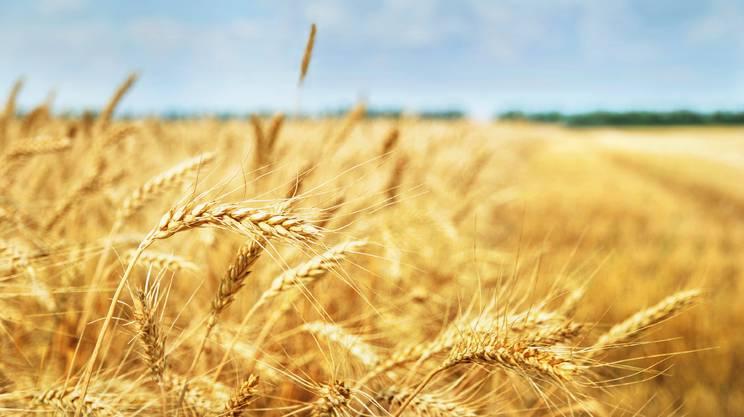 Campo, Pianta di cereale, Grano, Mietere, Giallo, Agricoltura, Raccolto, Granoturco, Vegetazione, Paglia, Fattoria, Paesaggio, Segale