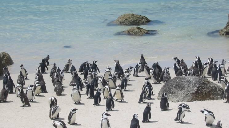 Pinguino, Spiaggia, Sole, Calore, Sud, Africa, Animale, Gruppo di animali