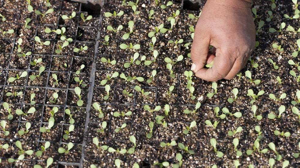 Vegetazione, Crescita, Pianta coltivata, Semi, Piantine, orto, terra, terreno